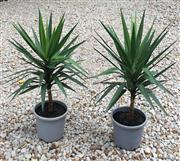 Sale 8706A - Lot 55 - A pair of established yucca plants in plastic pots, H 125 inc plant
