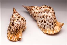Sale 9110 - Lot 1 - A large triton shell and another (L:40cm & 30cm)