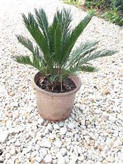 Sale 8706A - Lot 60 - A well establish cycad plant, H 90cm inc plant