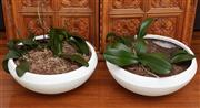 Sale 8990H - Lot 12 - Two white composite circular pots planted with orchids, Diameter 53cm