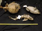 Sale 7905A - Lot 1639 - Collection of Fish - Porcupine, Trigger & Zebra