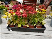 Sale 8676 - Lot 1195 - Tray of Fifteen Kalanchoes in Various Colours