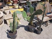 Sale 8676 - Lot 1197 - Collection of Three Cacti, one flowering