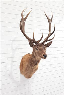Sale 9134 - Lot 1048 - Taxidermy mounted Elk bust (h:150cm)