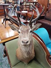 Sale 8831 - Lot 1039 - Taxidermy Trophy Mounted Deer