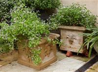 Sale 9080H - Lot 7 - A pair of cube form concrete planters with fleur de Lys motif bearing Stardust Euphorbia, Height 33cm x Width 37cm x Depth 37cm