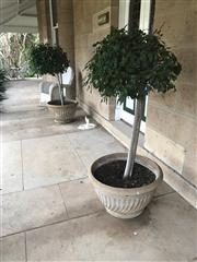 Sale 8430 - Lot 1 - A pair of concrete planters with standard ficus. H.41cm diameter 66cm.
