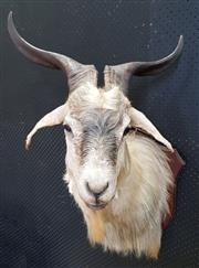 Sale 8984 - Lot 1031 - White Taxidermy Mountain Goat Trophy Mount (H:85 x W:50 xD:53cm)
