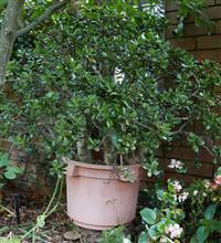 Sale 9080H - Lot 95 - A well established jade plant in plastic pot, Total Height approx. 130cm