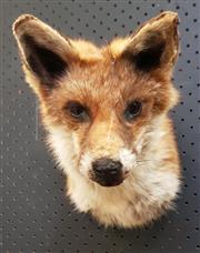 Sale 8984 - Lot 1007 - Taxidermy Red Fox Trophy Mount (H:21 x W:21 x D:27.5cm)