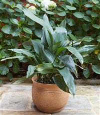 Sale 9080H - Lot 97 - A terracotta pot planted with a Aspidistra elatior Height 30cm x Diameter 36cm