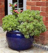 Sale 9080H - Lot 98 - A royal blue glazed terracotta pot, planted succulents, Height 35cm