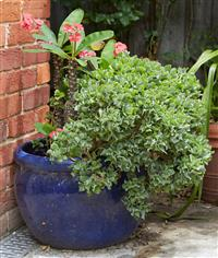 Sale 9080H - Lot 99 - A royal blue glazed terracotta pot, planted succulents, Height 35cm