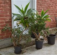 Sale 9080H - Lot 102 - A collection of four plants in plastic pots including agave and succulents in assorted sizes