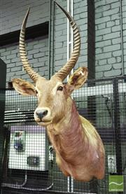 Sale 8444 - Lot 1055 - Waterbuck Taxidermy Head
