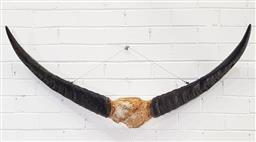 Sale 9146 - Lot 1009 - Water buffalo horns ( w120cm)