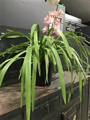 Sale 8787 - Lot 1003 - Pink Cymbidium Orchid With Single Spike