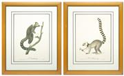Sale 8651A - Lot 77 - Jean-Baptiste Audebert (1759-1800) - LOuistiti. Buff. and Le Mococo. Buff. each 87 x 54cm inc. framing
