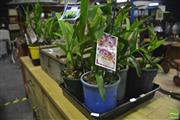 Sale 8361 - Lot 1060 - Two Trays of Orchids