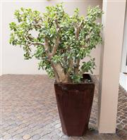 Sale 8313A - Lot 1 - A mature money tree, total height 140cm