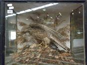 Sale 7905A - Lot 1607 - Victorian Taxidermy Sparrowhawk with Prey in Case