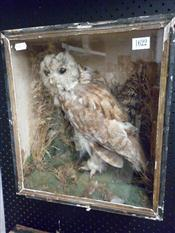 Sale 7905A - Lot 1622 - Victorian Taxidermy Tawny Owl in Case