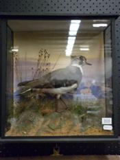 Sale 7905A - Lot 1616 - Victorian Taxidermy Lapwing in Case