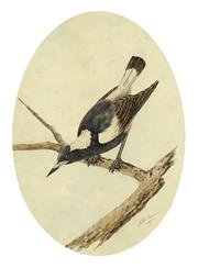 Sale 8704 - Lot 587 - Neville William Cayley (1886 - 1950) - Magpie, 1907 26.5 x 19.5cm