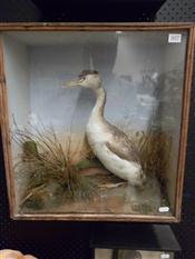Sale 7905A - Lot 1617 - Victorian Taxidermy Grebe in Case