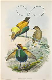 Sale 8325 - Lot 569 - John Gould (1804 - 1881) - DIPHYLLODES RESPUBLICA - Magnificent Bird of Paradise 54.5 x 37cm (sheet size)