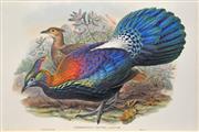 Sale 8325 - Lot 570 - John Gould (1804 - 1881) - LOPHOPHORUS LHUYSI 54.5 x 37cm (sheet size)