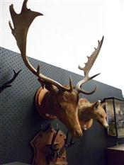 Sale 7905A - Lot 1614 - Victorian Taxidermy Stag Trophy Head