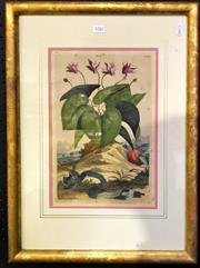 Sale 8976 - Lot 1082 - Late 17th Century Botanical Hand-Coloured Engraved Book-Plate, Cyclamen Vernum Majus Flore Albo Odorat, from Abraham Muntings book...