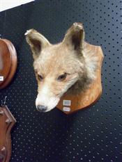 Sale 7905A - Lot 1615 - Edwardian Taxidermy Fox Trophy Head
