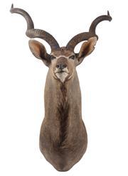 Sale 8431A - Lot 661B - Good Taxidermy Kudu, shoulder mount (H 160cm)