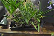 Sale 8284 - Lot 1076 - Tray of Agapanthus x 2