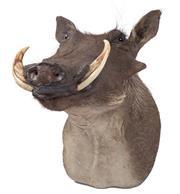 Sale 8431A - Lot 661C - Good Taxidermy Warthog, shoulder mount (H 46cm)