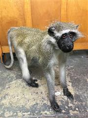Sale 8567 - Lot 629 - Taxidermy Vervet Monkey, full mount