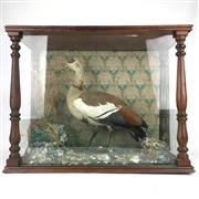 Sale 8607R - Lot 76 - Taxidermy Duck in Timber and Glass Case (55 x 71 x 31.5cm)
