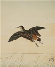 Sale 8867 - Lot 595 - Neville Cayley (1853 - 1903) - Duck Midflight, 1894 56 x 44 cm