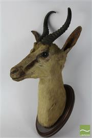 Sale 8516 - Lot 73 - Mounted Springbok Antelope Head