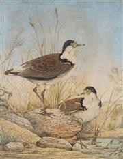 Sale 8867 - Lot 596 - Neville Cayley (1853 - 1903) - Plummer birds, 1890 60.5 x 47 cm
