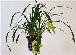 Sale 9191 - Lot 1046 - Green 2 spike cymbidium orchid (h:61cm)