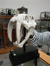 Sale 7905A - Lot 1696 - Faux Sabre-Toothed Tiger Skull on Stand