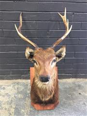 Sale 9006 - Lot 1002 - Mounted Elk Bust (h:96cm)