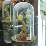 Sale 8362 - Lot 38 - Gouldian Finch Taxidermy in Domed Glass Case