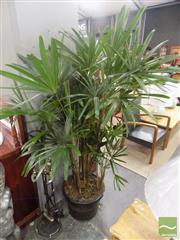 Sale 8480 - Lot 1171A - Rhapis Palm - Medium
