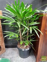 Sale 8480 - Lot 1006 - Rhapis Palm - Small