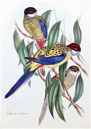Sale 8427 - Lot 566 - After John Gould (1804 - 1881) - PLATYCERUS BROWNII: Browns Parakeet (from Birds of Australia) 42 x 30cm