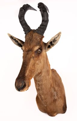 Sale 9150J - Lot 41 - A Taxidermy Red Haartesbeest Mount (H 103cm)